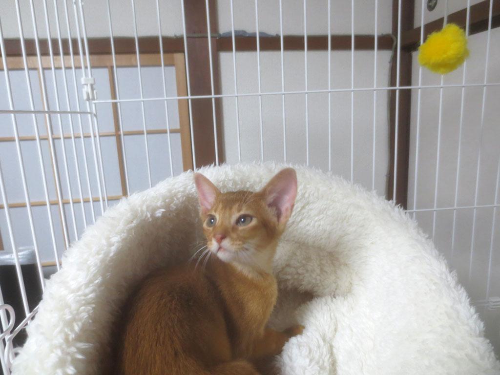 猫ベットの中で寛ぐアビシニアン。