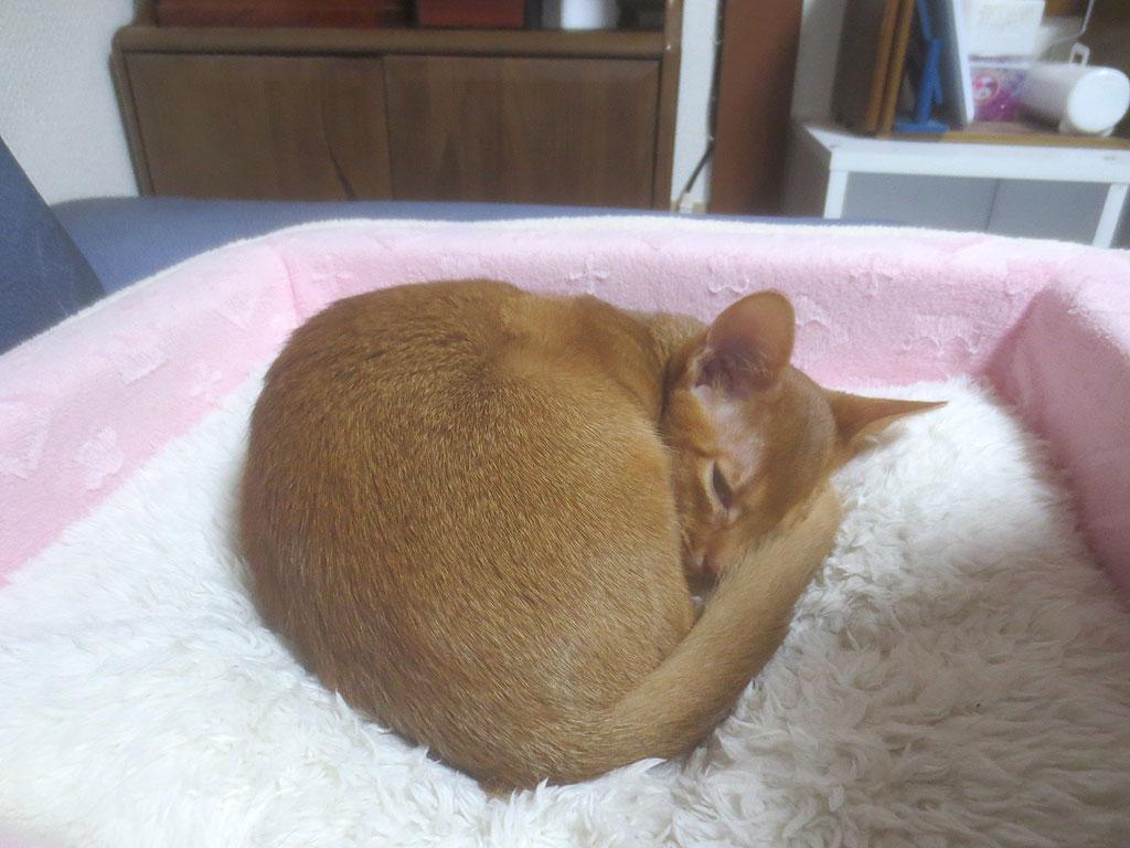 猫ベットで寝るアビのすけ。