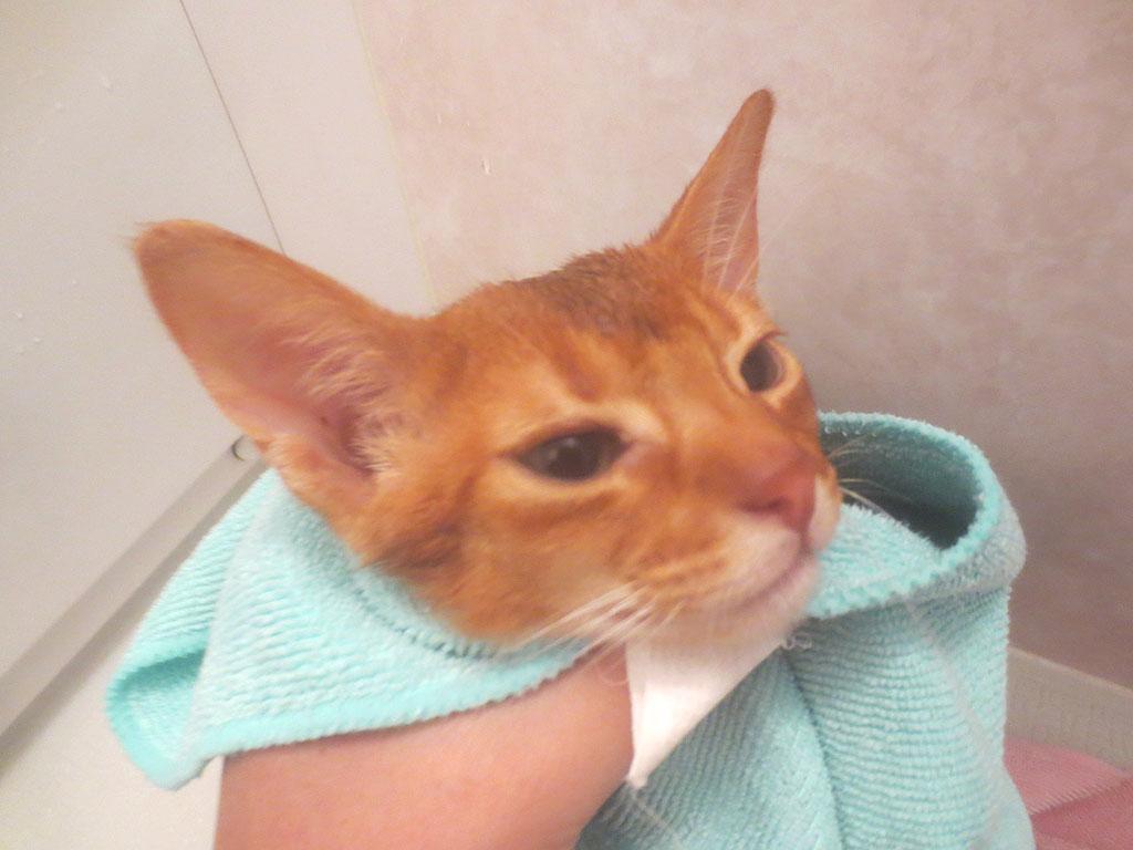 タオルでアビのすけを拭きます。
