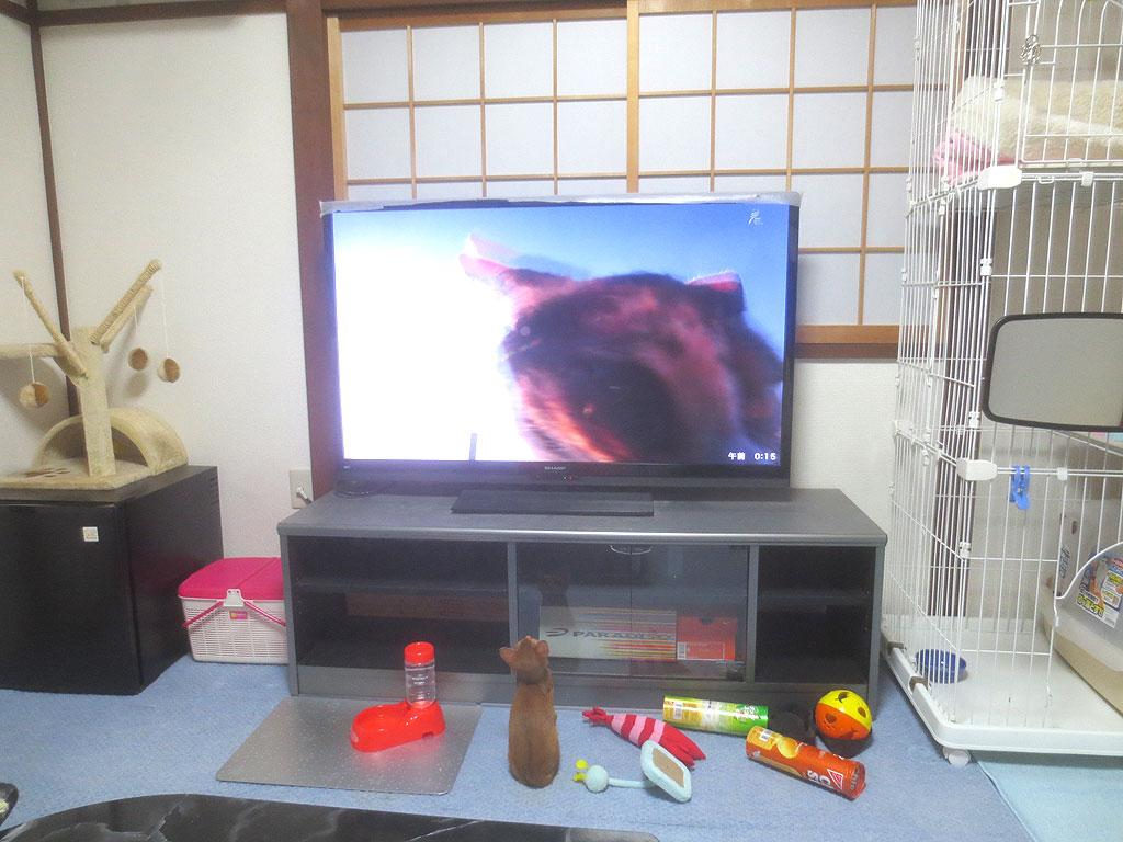 座ってテレビの猫を見るアビのすけ。