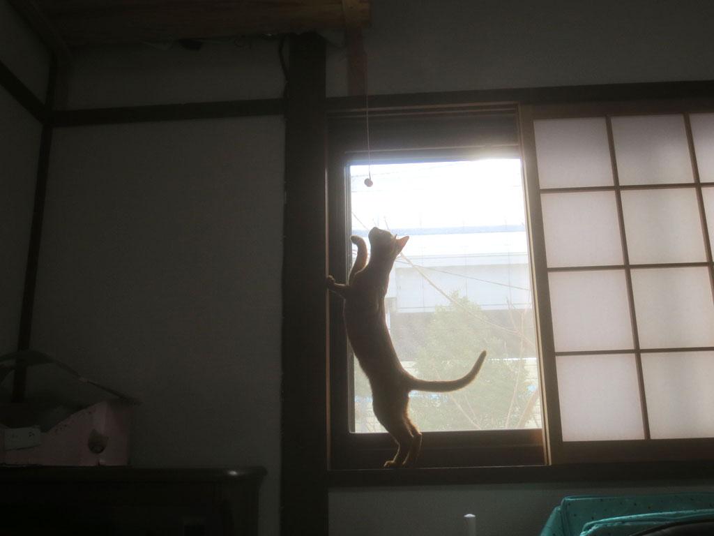 ゴム紐で遊ぶアビのすけ。