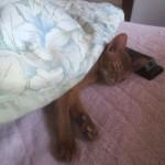 昼寝をするアビのすけ。