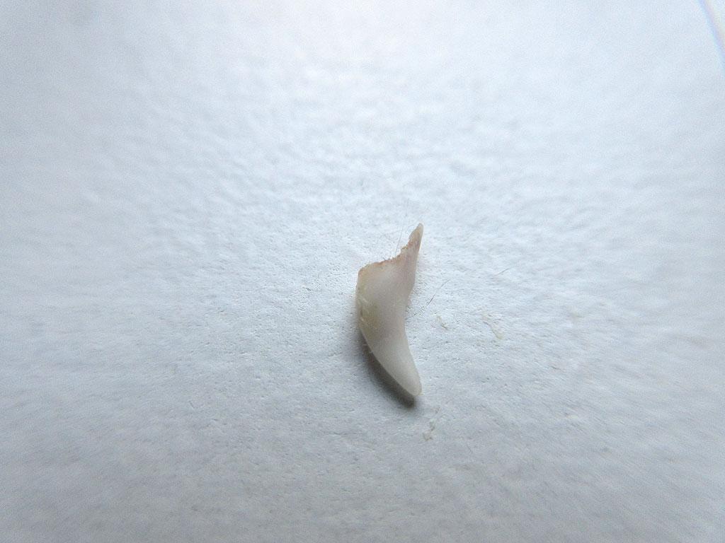 アビのすけの抜けた歯。