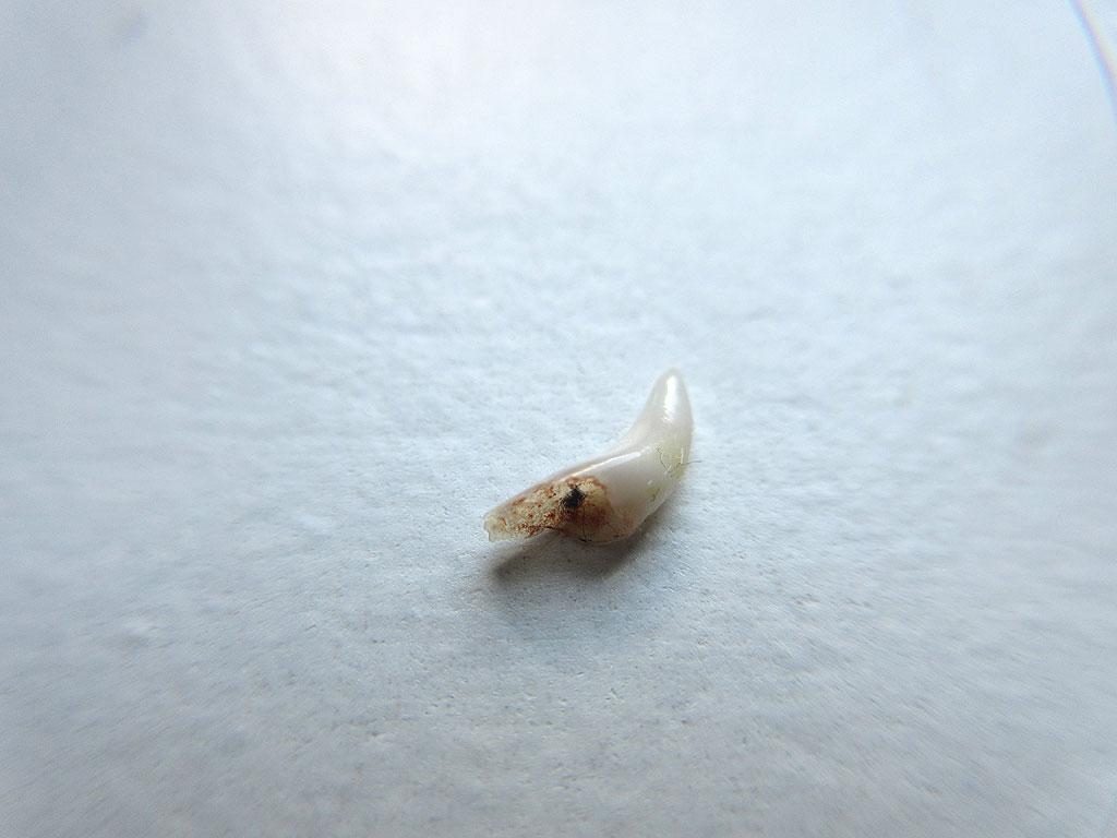 5mm位のアビのすけの犬歯。