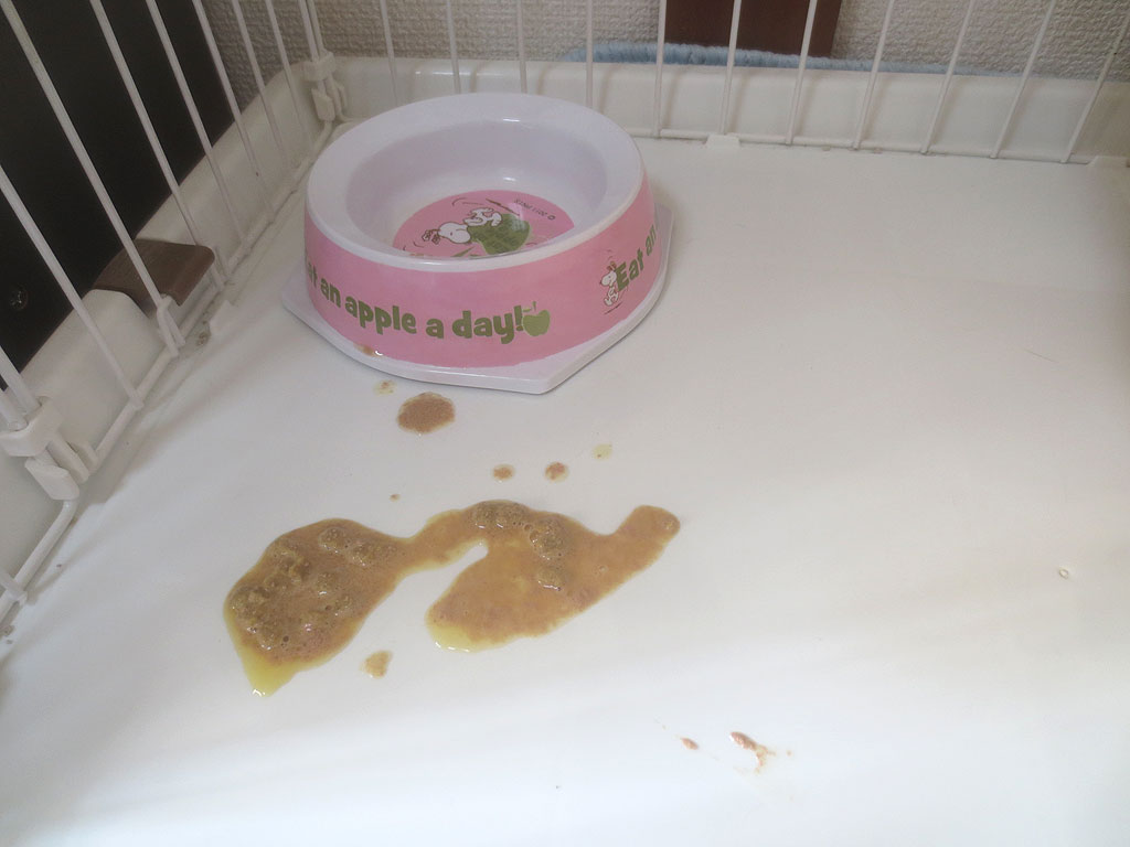 1回目ご飯を吐いたアビのすけ。