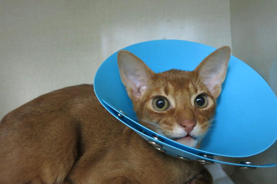 手術前のアビのすけ。