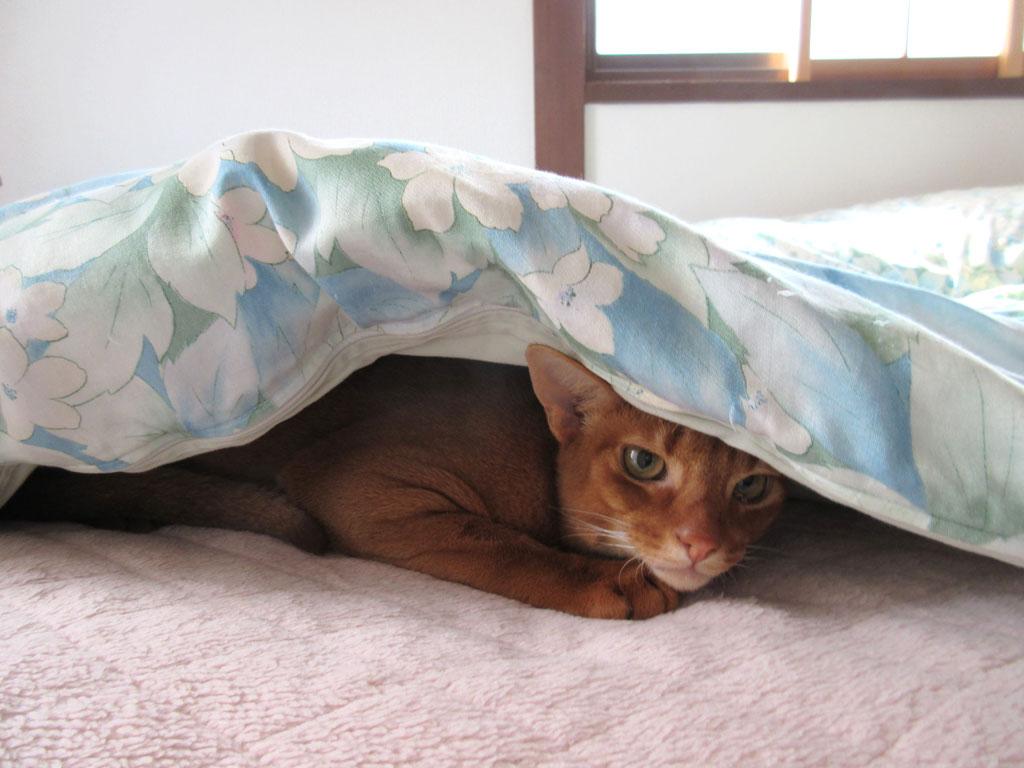 隠れているアビのすけ。