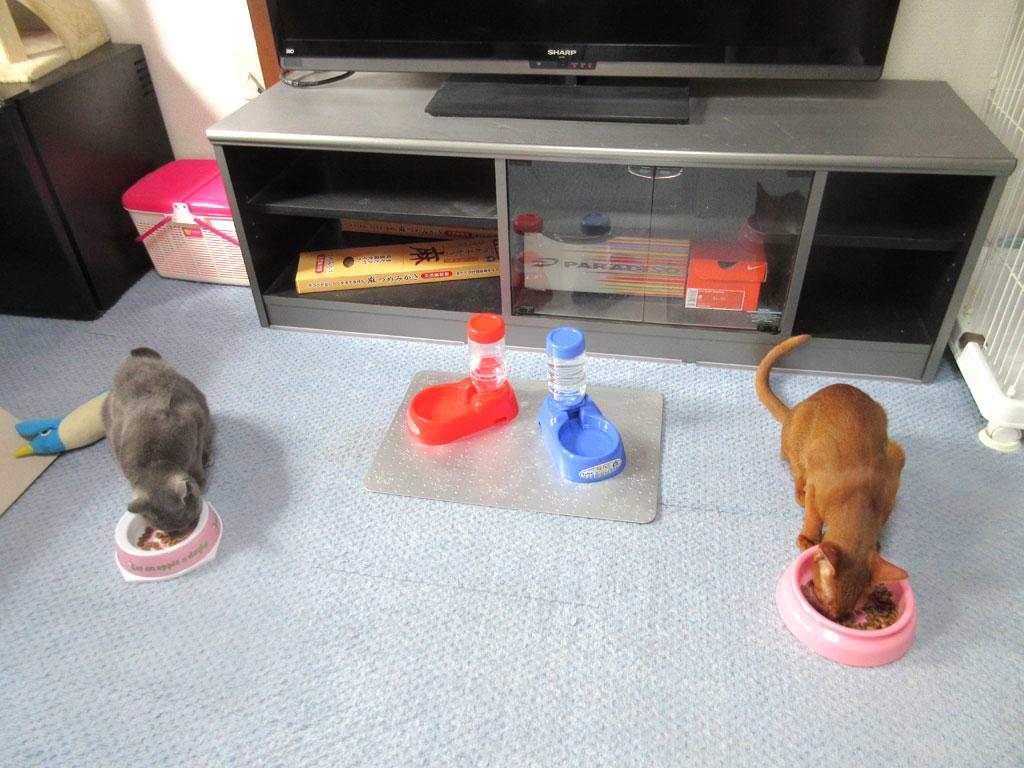 朝ご飯を食べる猫たち。