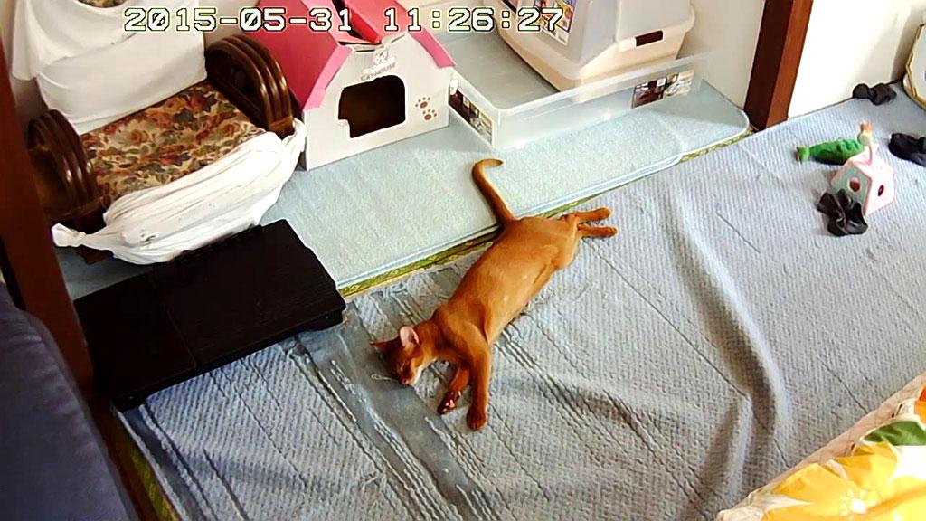バタン・キューと寝るアビシニアン。