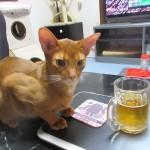 ビールに興味津々のアビシニアン。