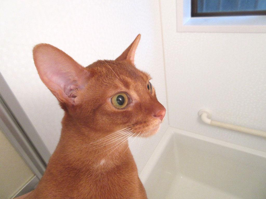 お風呂にいるアビシニアン。