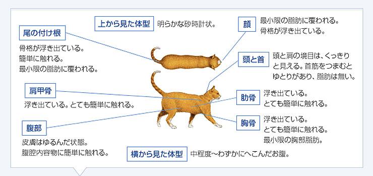理想体重の猫の体型。