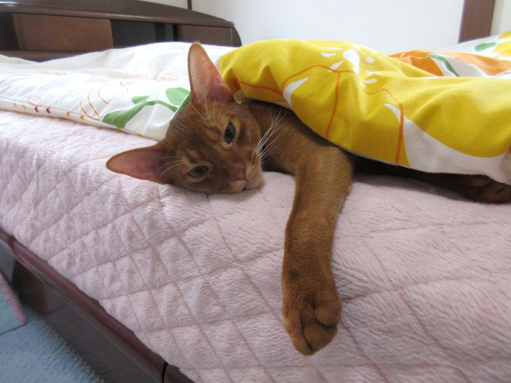 寝起きの時だけ素直なアビシニアン。