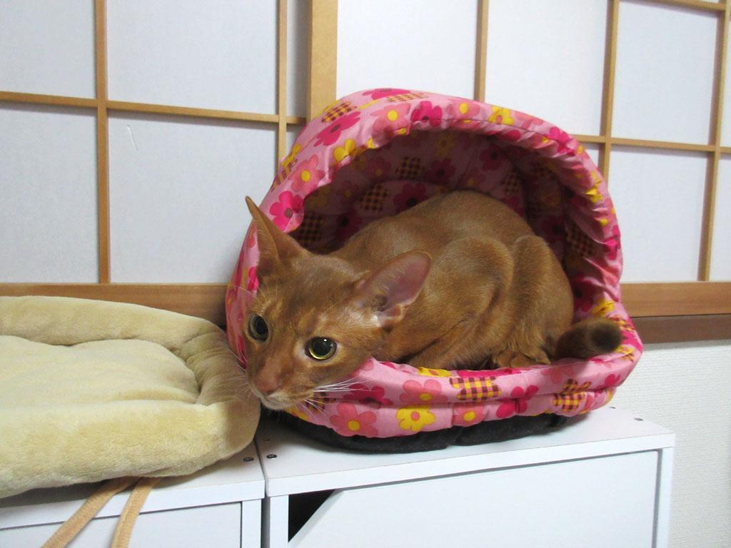 猫ベットに入ったアビシニアン。