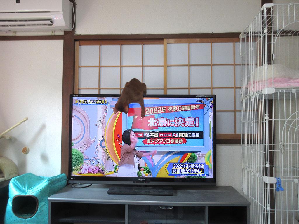 テレビの画面を触るアビシニアン。