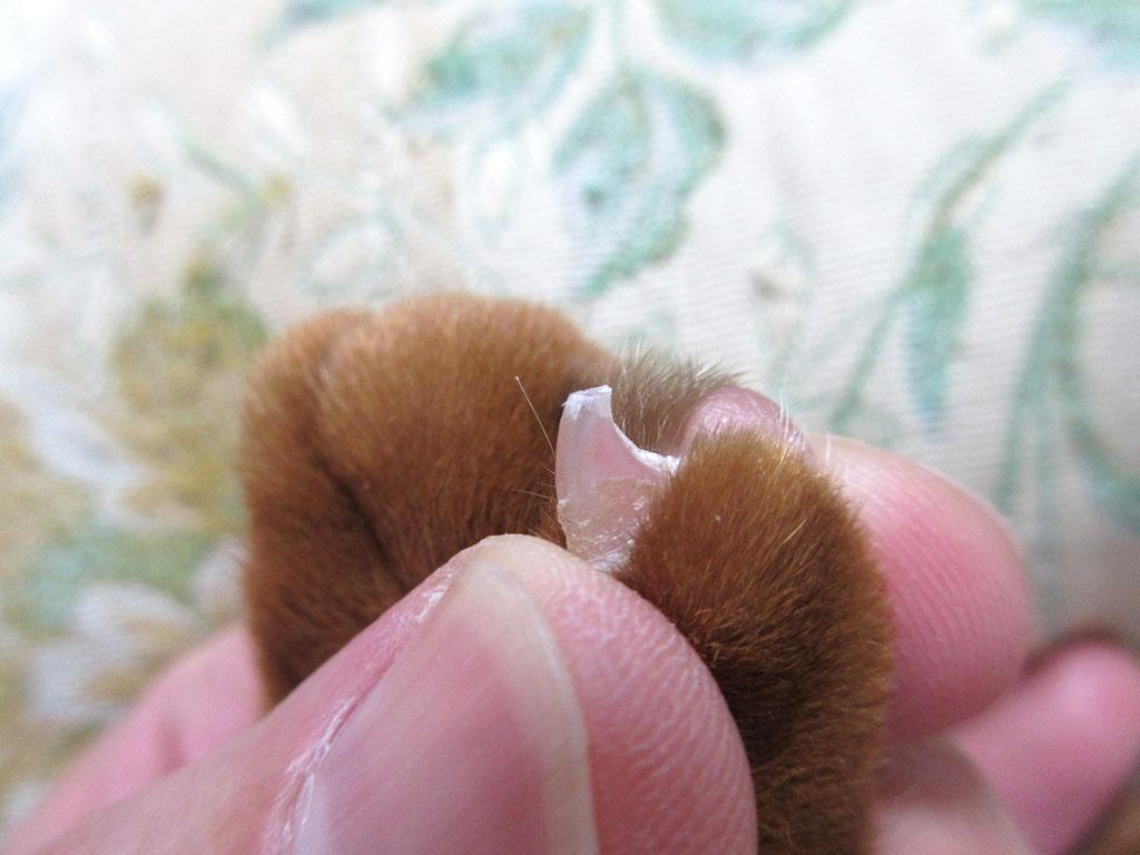 爪切り後のアビのすけの手。