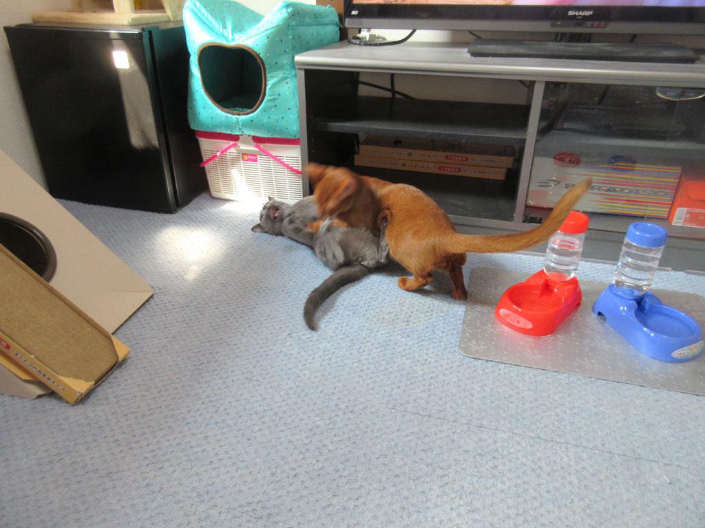取っ組み合いをする猫たち。