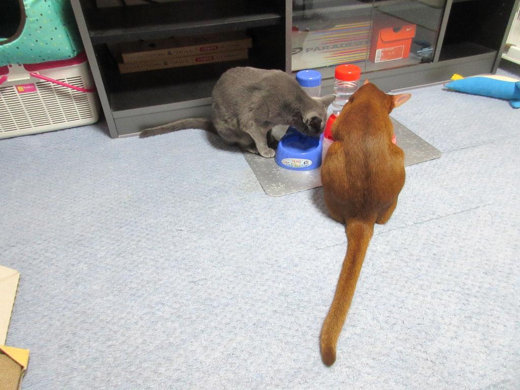 仲良く水を飲む我が家の猫たち。