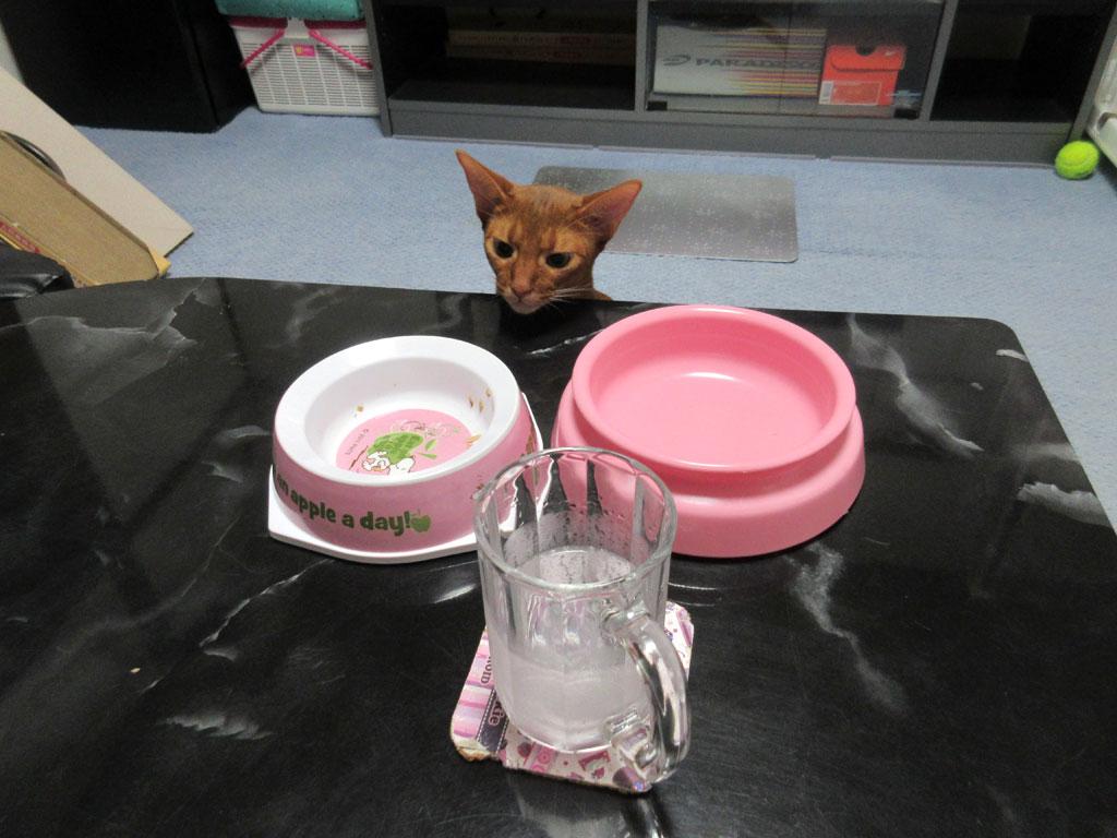 ロシ子のお皿を眺めるアビのすけ。