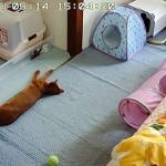 どてっと寝てるアビのすけ。
