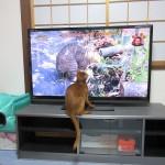 テレビに釘付けのアビシニアン。