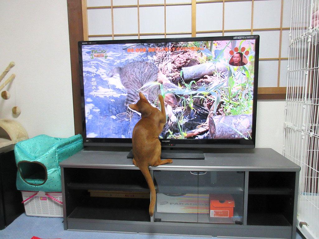 猫パンチするアビのすけ。