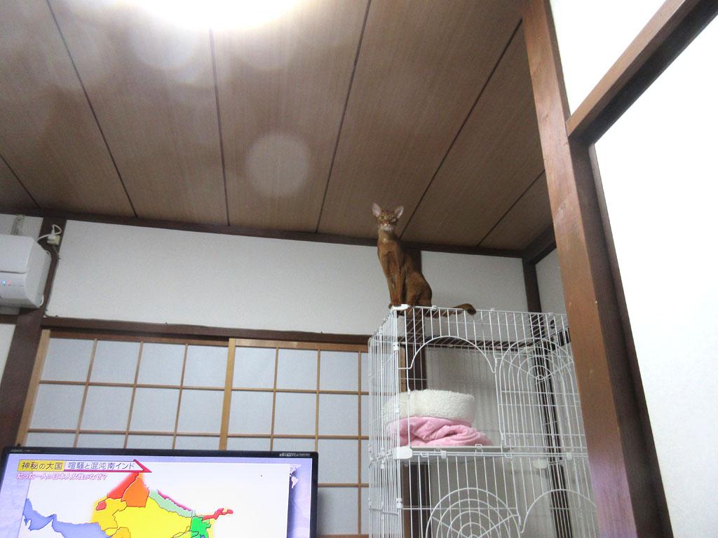 ケージの天井のアビシニアン。