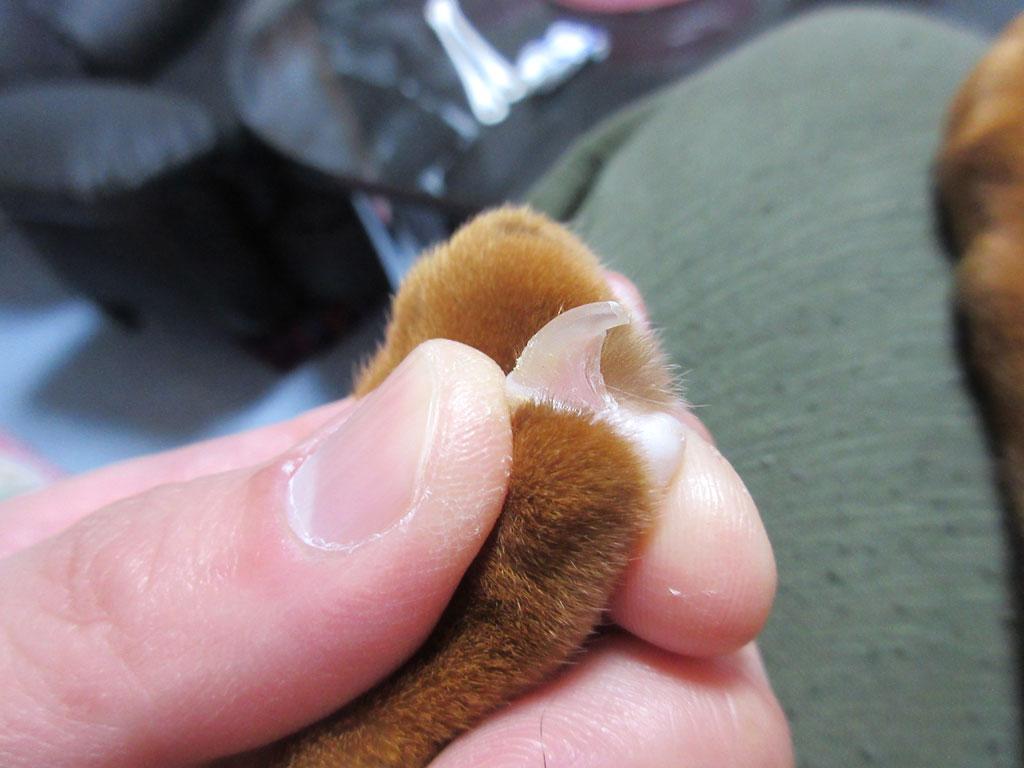 アビのすけの手の爪切り。