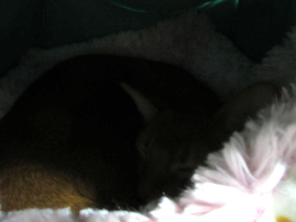 特選猫ベットの中のアビのすけ。