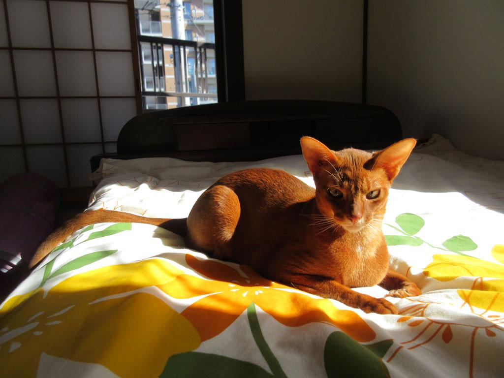 美猫のアビシニアン。