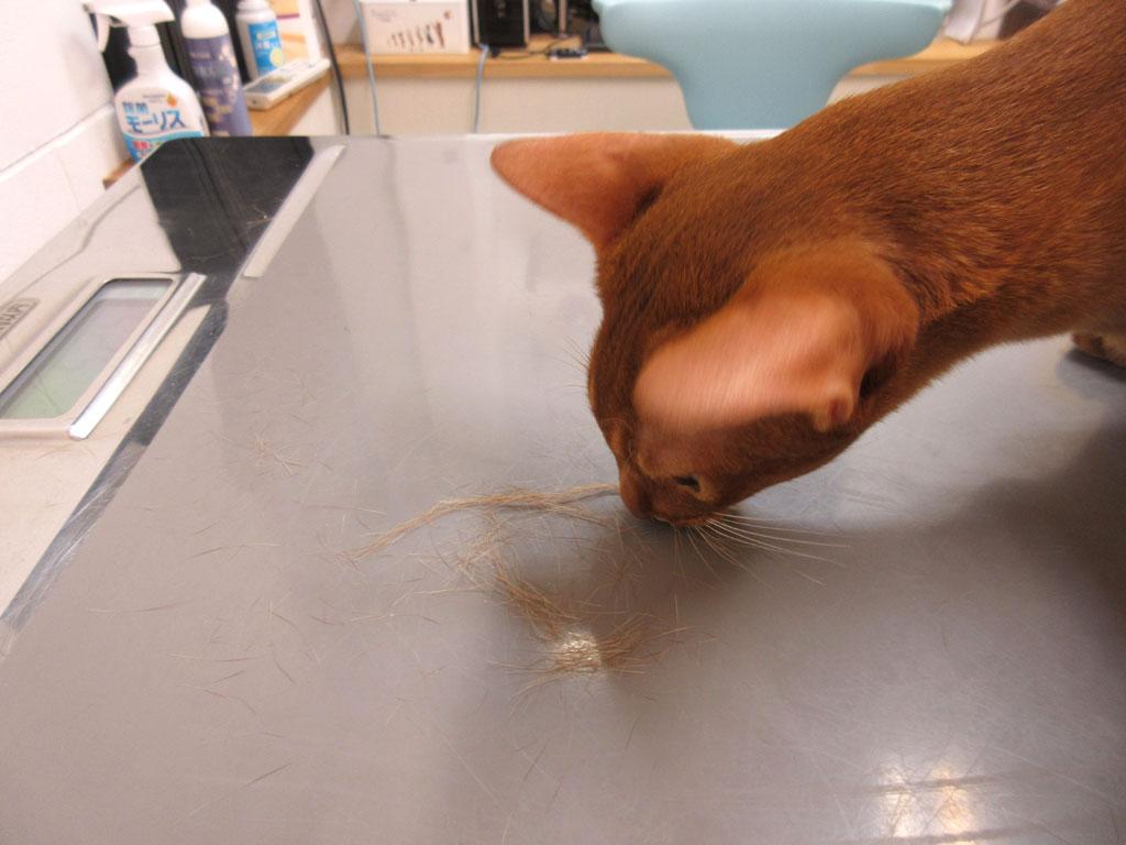 アビのすけの毛が抜けまくり。