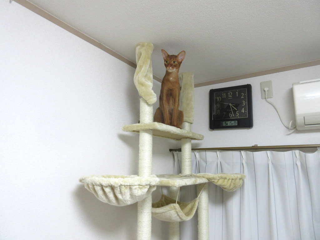 美猫なアビのすけ。
