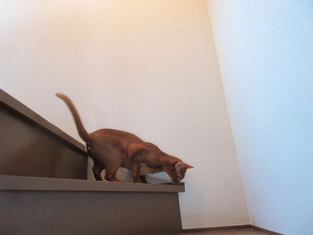階段を下りるアビシニアン。