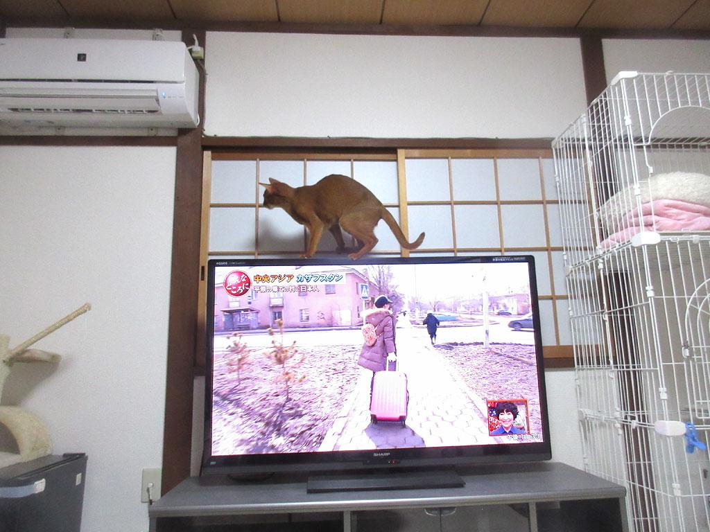 テレビの上のアビのすけ。