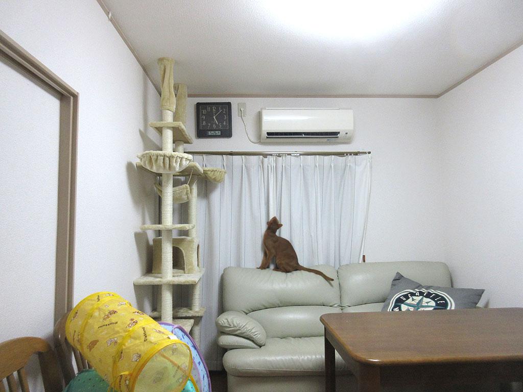 エアコンを見上げるアビのすけ。