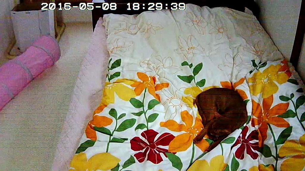 ベットの上で寝るアビのすけ。
