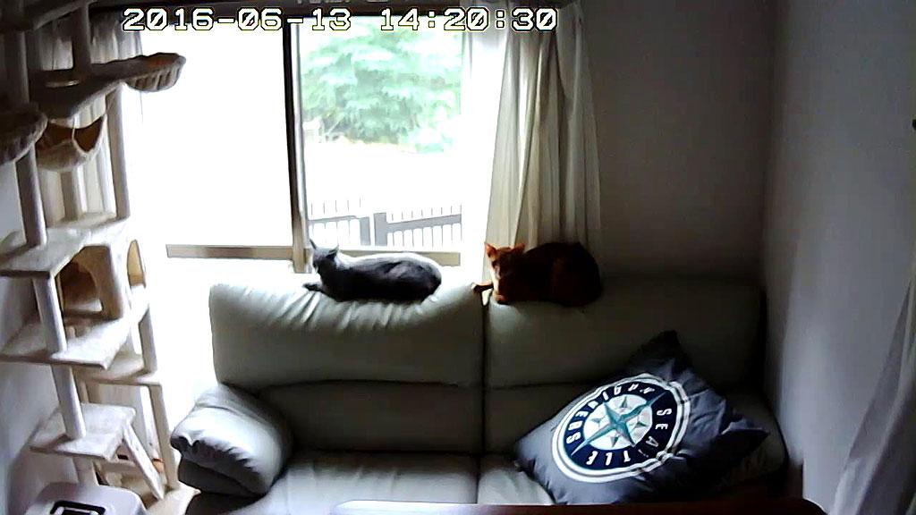 2にゃんがソファーの背中に。