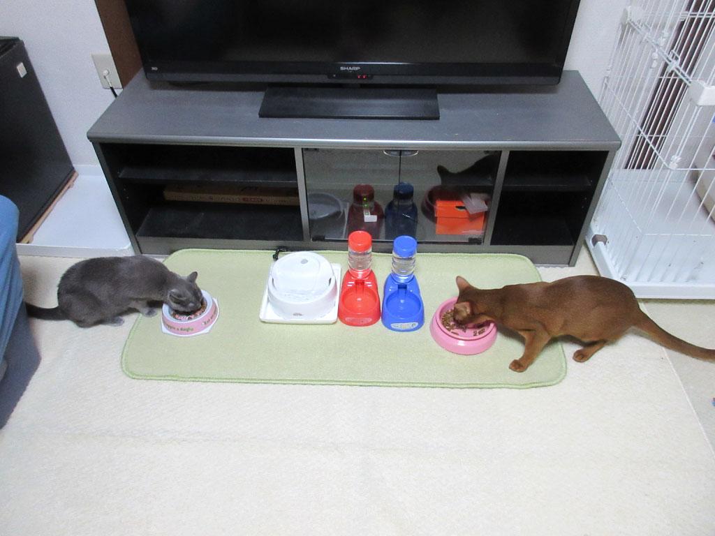 猫たちの晩ご飯の風景。