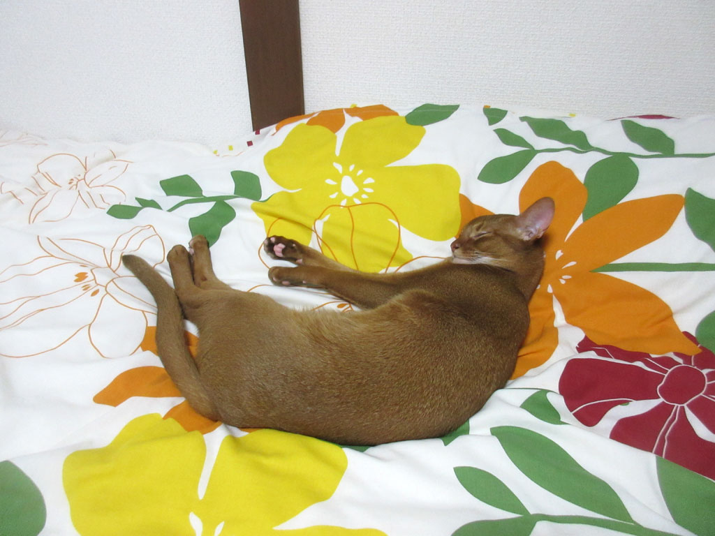 寝に入ったアビのすけ。