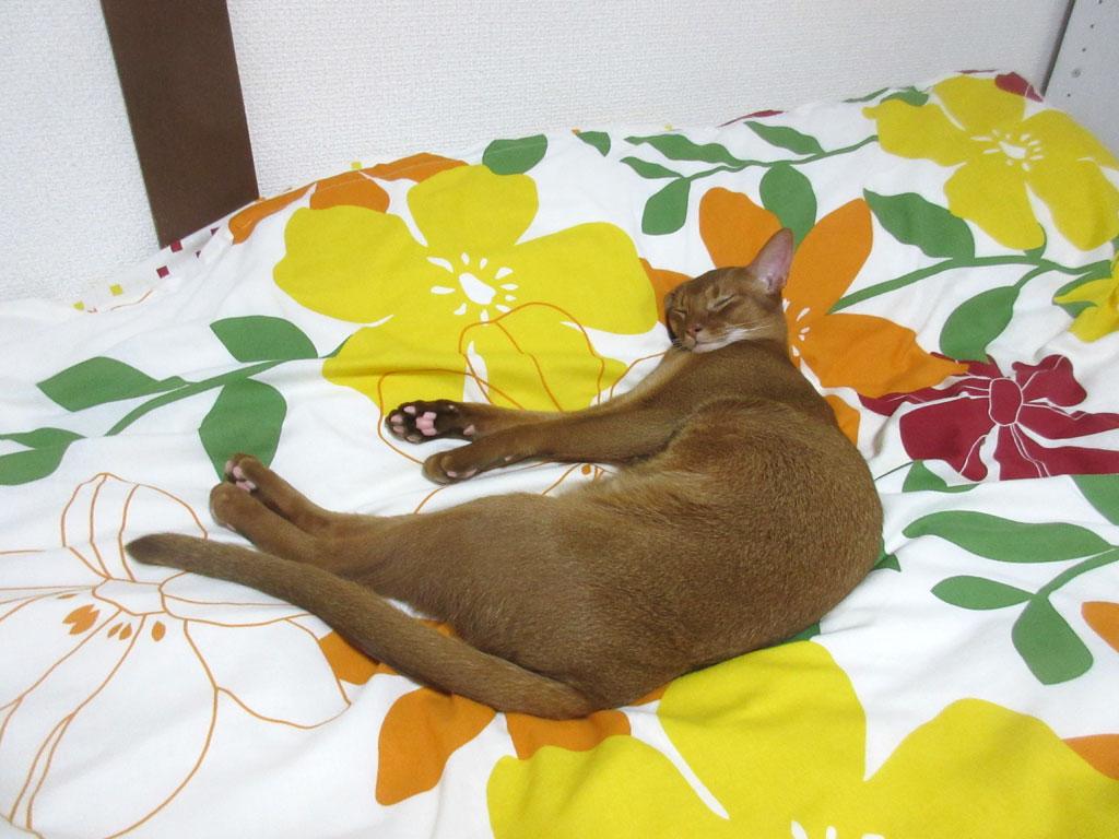 耳が折れた状態で寝ています。