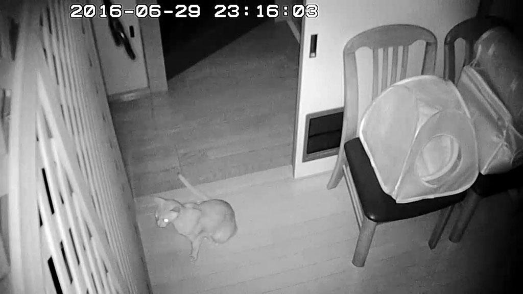 やんちゃn臆病猫のアビのすけ。