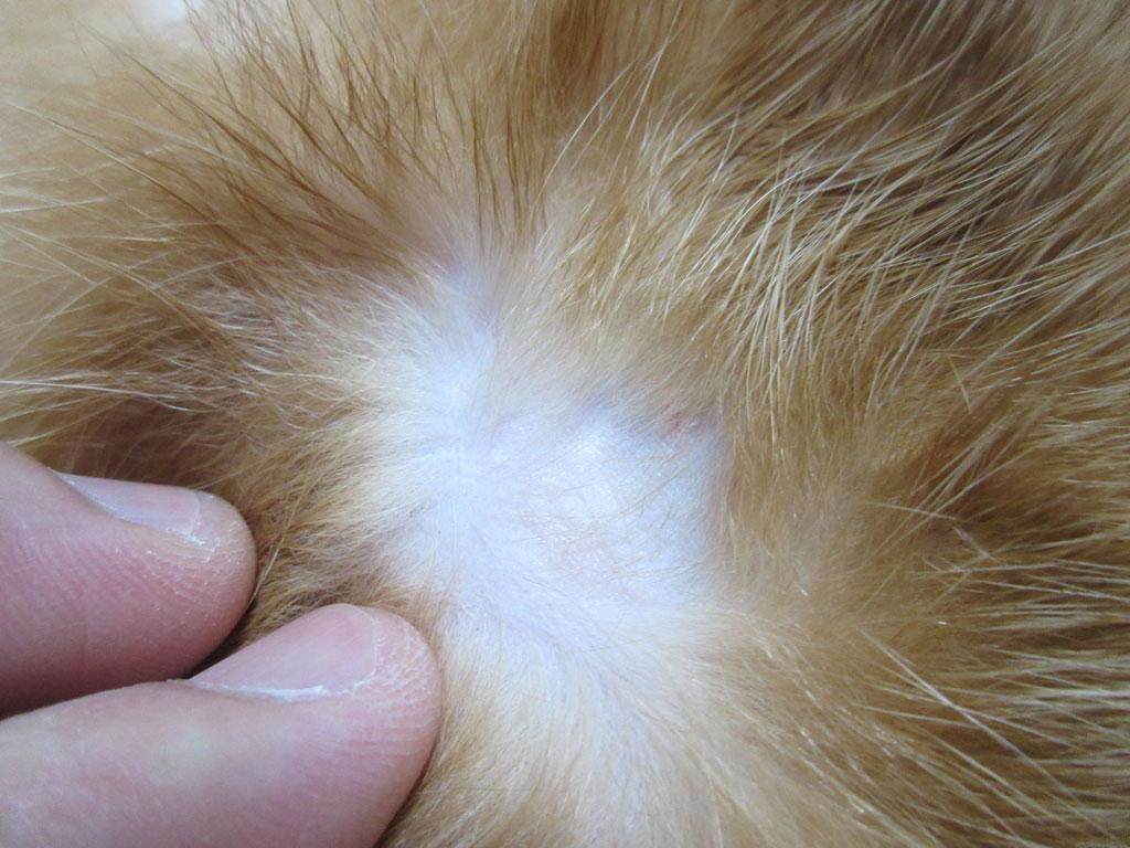 かなりきれいなアビのすけの皮膚炎。