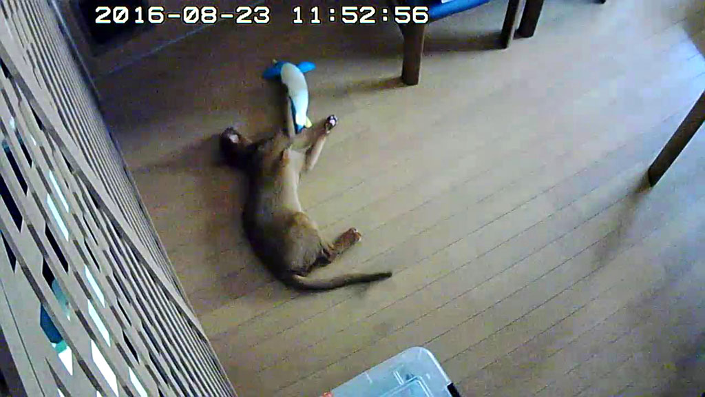 遊ぶの大好きアビのすけ。