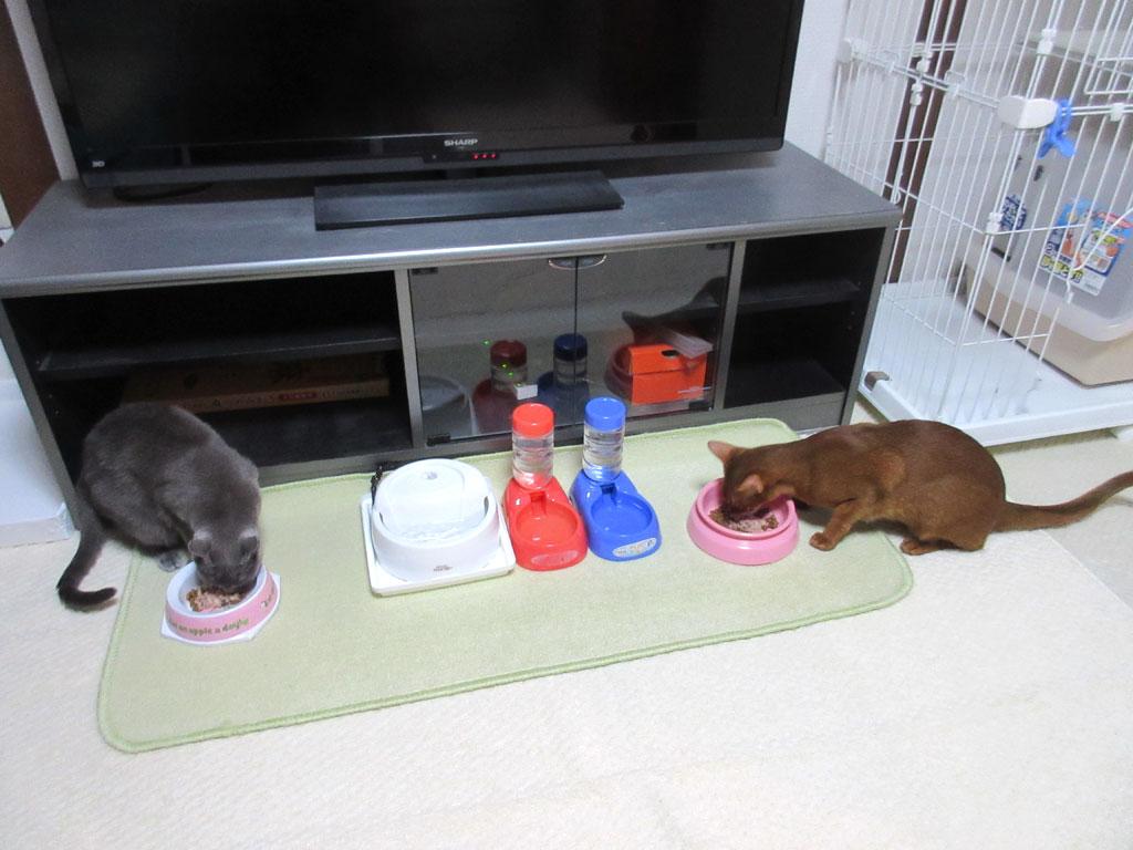 元気に食べる猫たち。