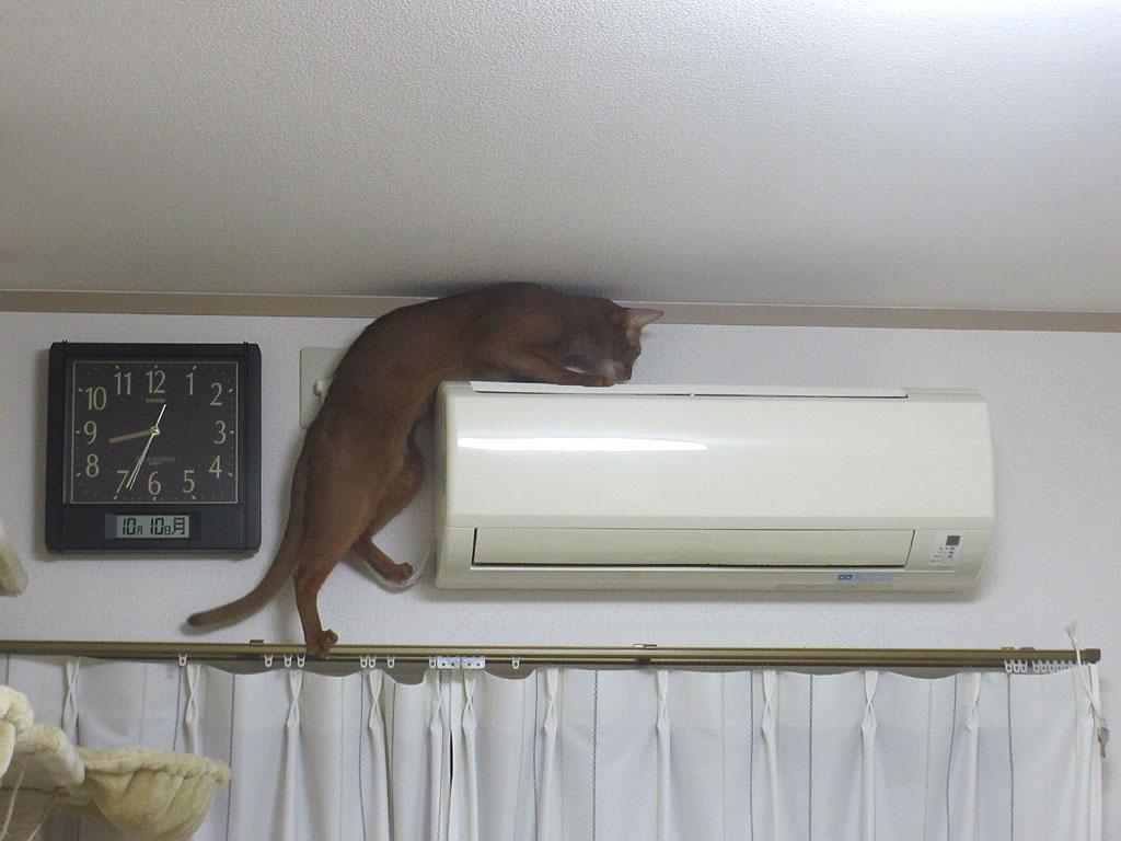 エアコンに上ろうとするアビのすけ。