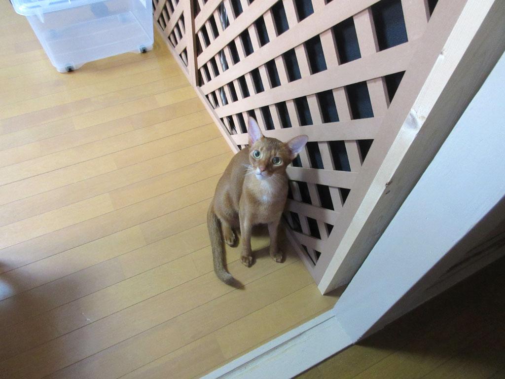 美猫なアビのすけ君。