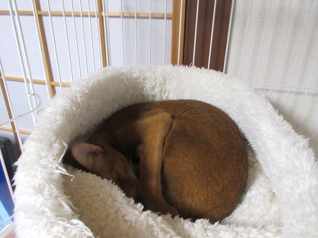 丸まって寝るアビのすけ。