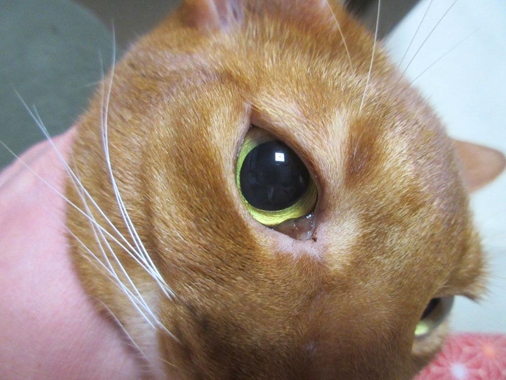 目ヤニが多いアビのすけ。