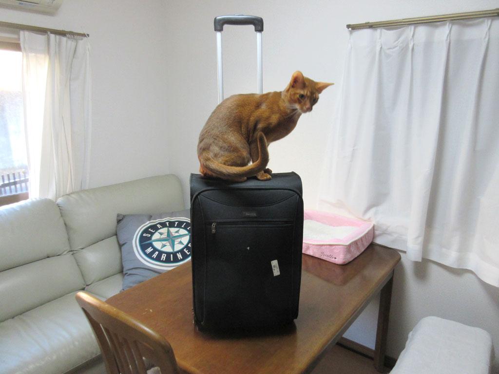 キャリーバッグに乗るアビのすけ。