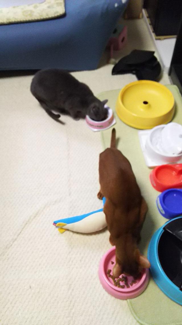 昼ご飯を食べる猫たち。
